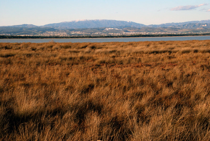 Rushes, Akrotiri salt lake and the dome of the High Troodos, January 2013.