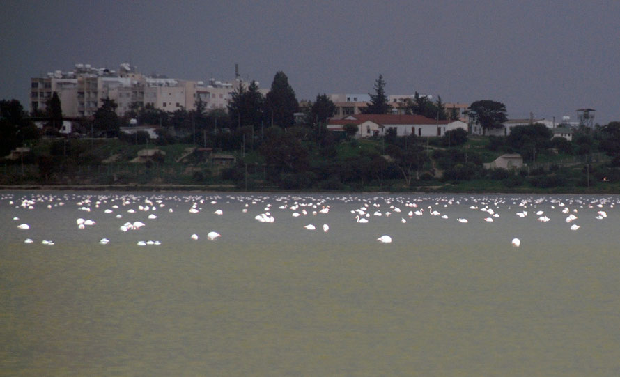Greater Flamingo (Phoenicopterus roseus) on Aliki,  the largest of Larnaka's four salt lakes (January 2013).