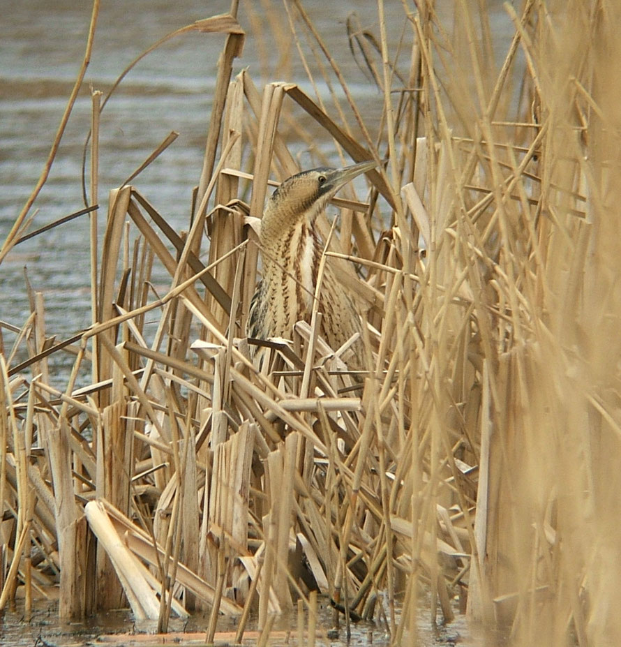 Great Bittern Botaurus stellaris. Gosforth Park, Northumberland, UK (c) Sciadopitys at WikiCommons