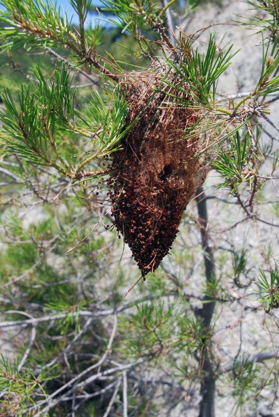 A curious nest in the Brutia pines
