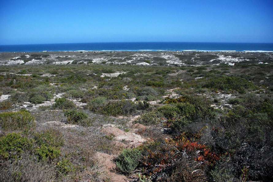 Strandveld fynbos at Langebaan on the West Coast