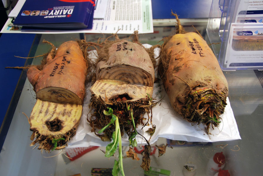 Cow crop: 'Rivage' fodder beet samples from Agricom at the Rural Service Centre Farm Store, Takaka, Tasman.