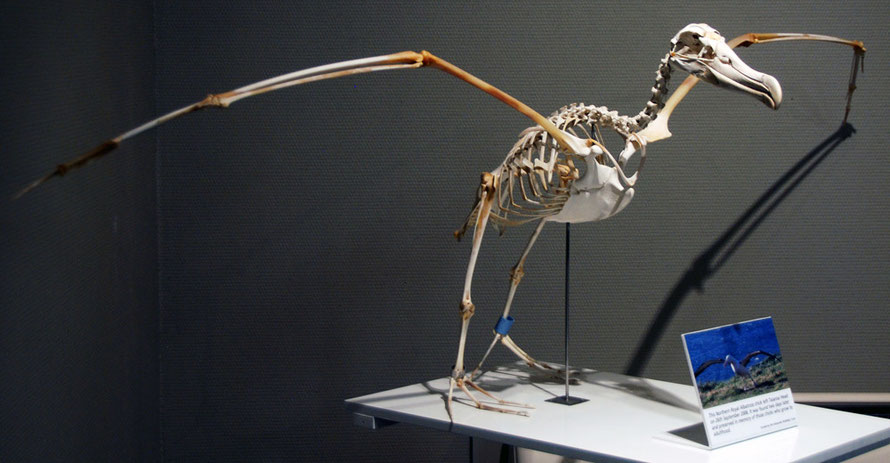 Northern Royal Albatross - Toroa (Diomedea sanfordi) skeleton at the Trust on Taiairoa Head