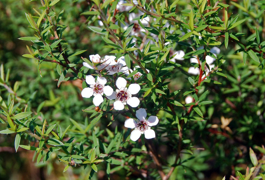 Manuka flowers. Manuka (Leptospermum scoparium) is differentiated from the Kanuka by the sharpness of its leaves.