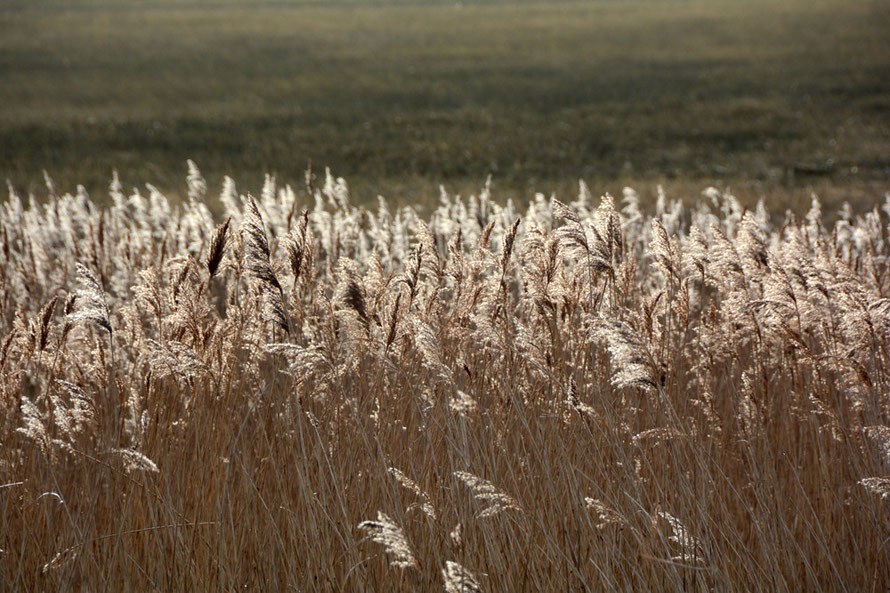 Norfolk reeds (Phragmites australis) at Pegwell Bay catching the sun. Used extensively for thatch.
