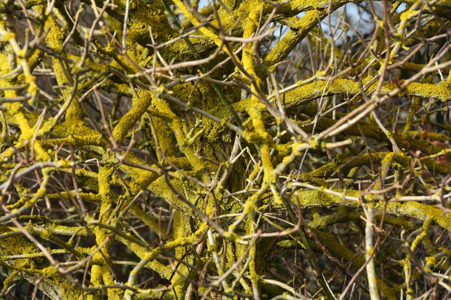 Sun on a lichen encrusted elder tree at Pegwell Bay.
