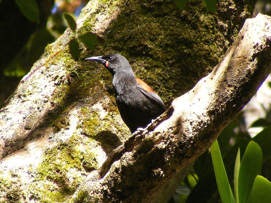 A Tieke, or South Island Saddleback, on Ulva Island, where they were first released in 2000. A population of South Island Saddlebacks is maintained on the island by the University of Otago.  South Isl