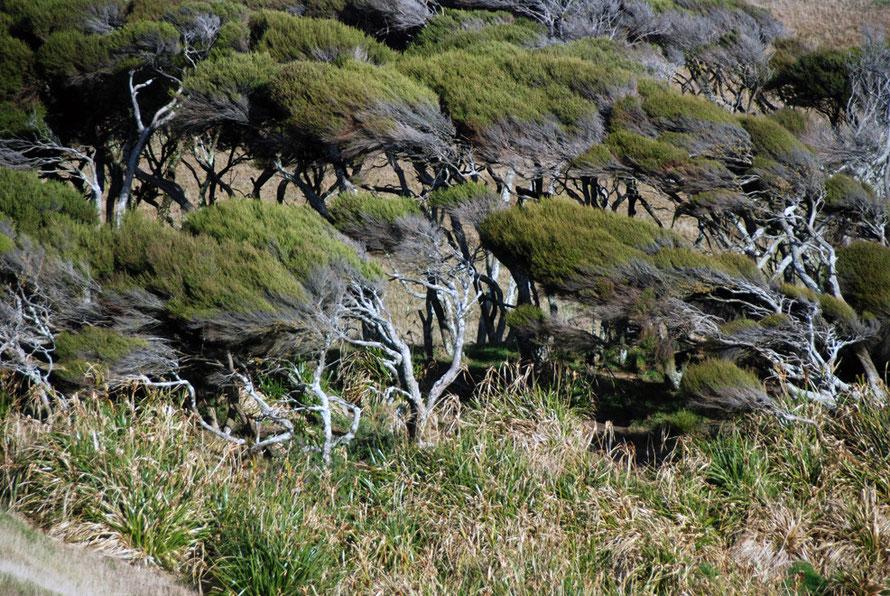 Wind-scoured Manuka near Cape Farewell, South Island.