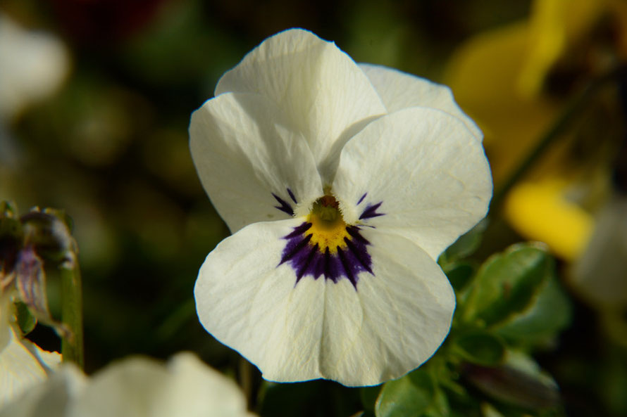 What to look for in spring: violas catching the early March sun.