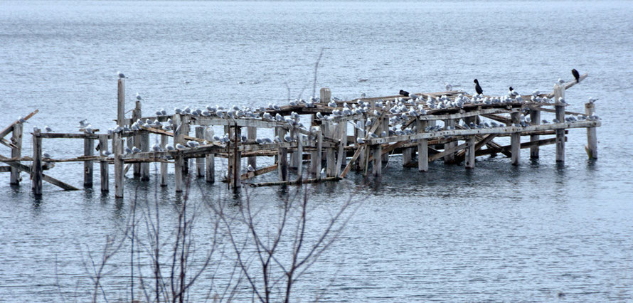 Abandoned jetty at Jøvik with kittiwakes and cormarants.