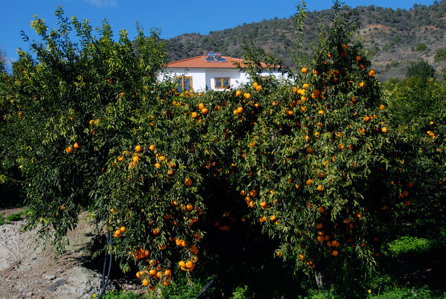 Tree laden with presumably 'Arakapas' mandarins, in the mandarin-village of Arakapas, the first centre of mandarin cultivation in 19th-century Cyprus, January 2013