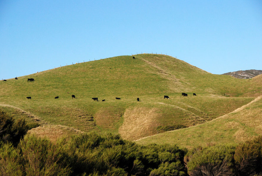 Manuka scrub and sandhills with cattle above Cape Farewell, Golden Bay.