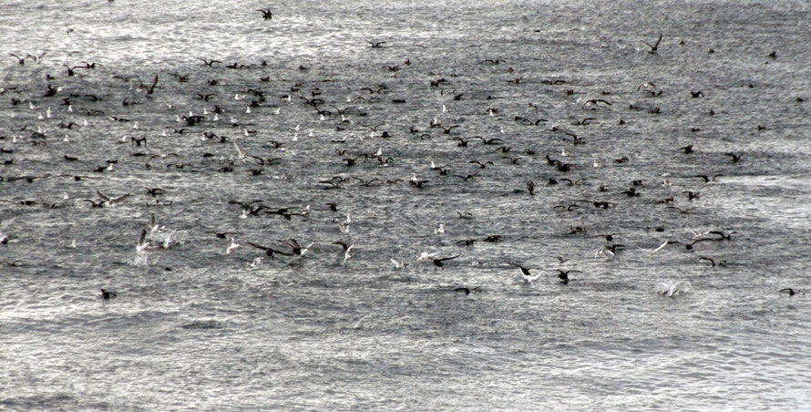 Shearwaters, terns and gulls pepper the calm waters of the Foveaux Strait in late March 2014 (from Ackers Point)