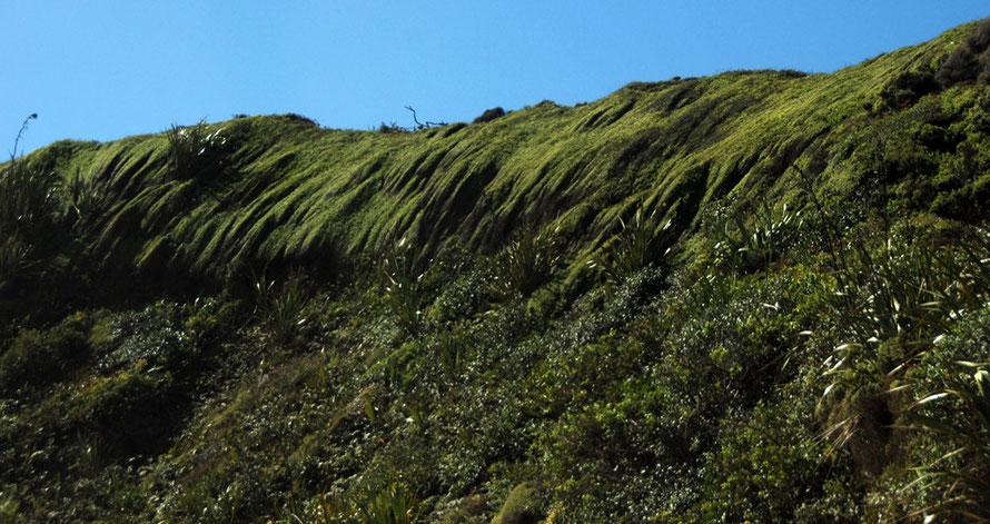 Wind-shaped close-knit shrub and flax on the Cowin Road south of Mangarakau