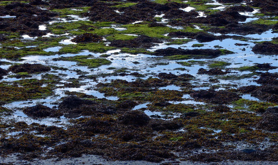 Verdant looking seaweed growth in the intertidal zone at Nord-Lenangen inlet on the Ullsfjorden towards the west end of the Lyngen Peninsula. The Norther Gulf Stream makes a huge difference to sea temperature even this far north.
