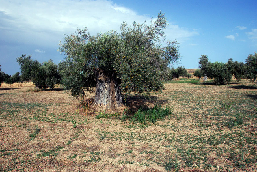 The venerable olive trees outside the Convent of Ayios Iraklidhios near Tamassos in Cyprus