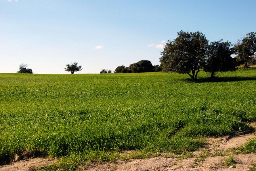 Wheat and carob country near Kofinou