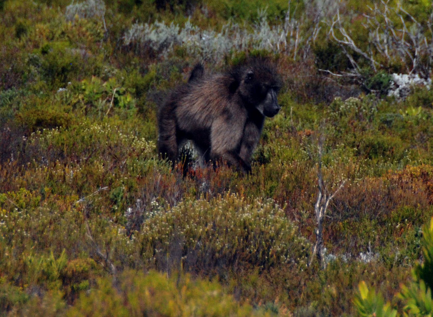 Member of the Olifantbos Troop foraging in the fynbos near Olifantbos Bay, Table Mountain National Park
