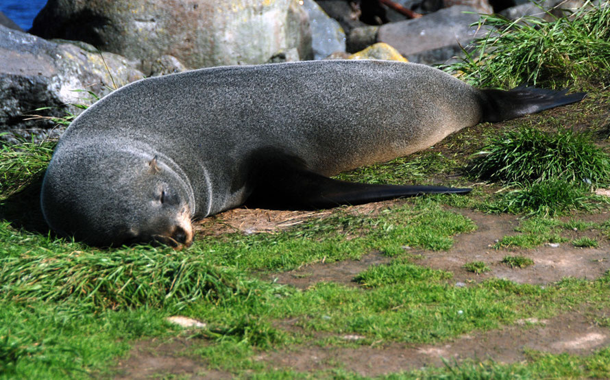 Female New Zealand Fur Seal/Kekeno basking in sunshine at Pilots Beach on the Otago Peninsula. External ears are particular to the New Zealand Fur Seal