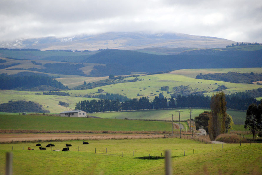 Cattle country near Dunedin from State Highway 1 looking suspiciously like the Lammermuir Hills south of Edinburgh.