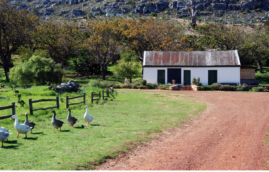 Bucolic scene at the old Wildskutbrand Farm with blacksmith's shed and oak trees. Shacks from a nearby towns, Cape Peninsula, South Africa