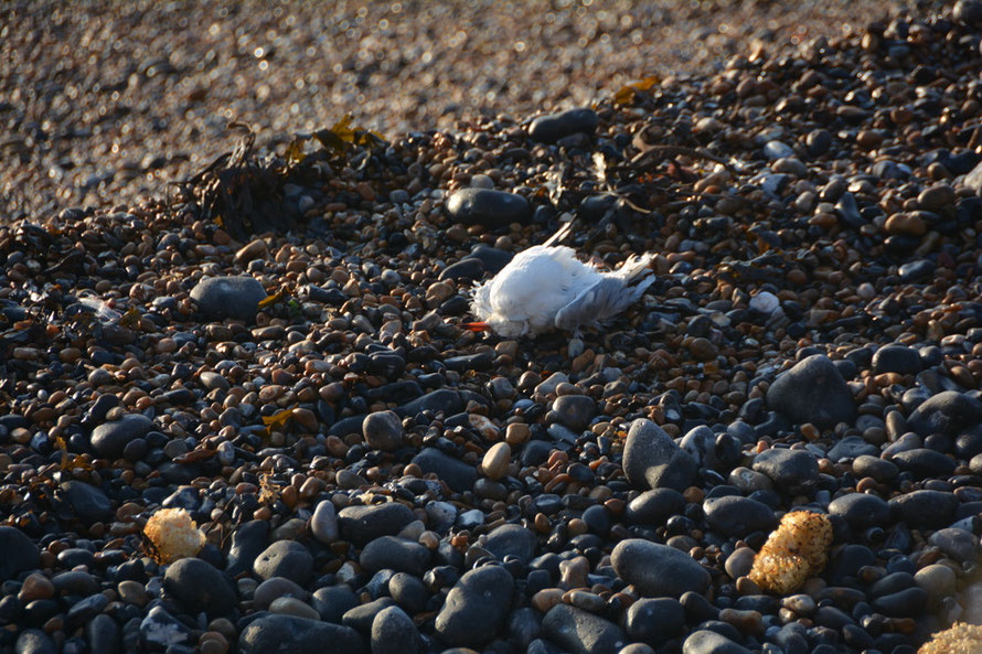 A Black-Headed Gull succumbed to the long winter.