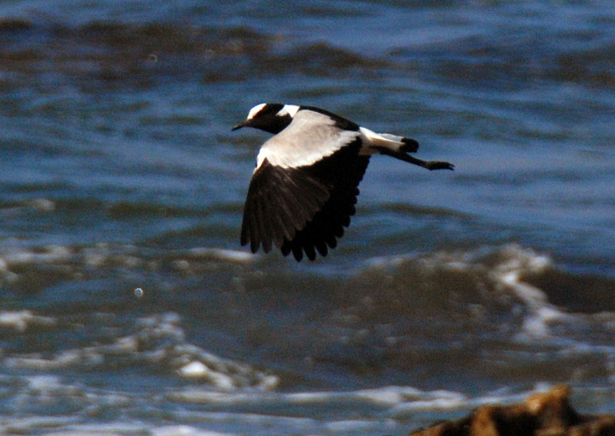Blacksmith Lapwing or Plover at Stony Point.  Called a 'blacksmith' because of its tink, tink, alarm call