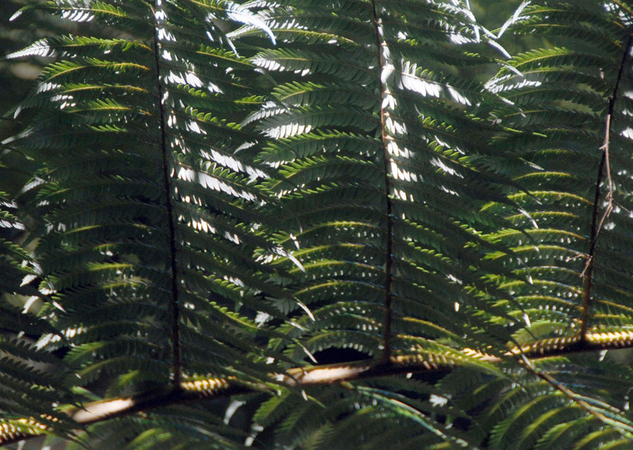 Detail of Silver fern/ponga frond - Cyathea dealbata