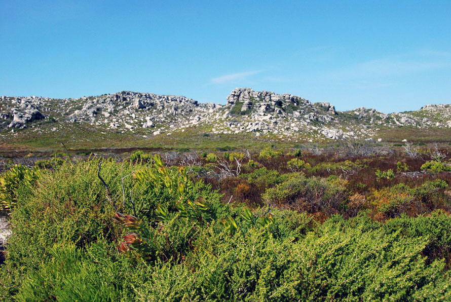 Peninsula sandstone fynbos whipped into a frenzy by the south-easterly 'Cape Doctor'