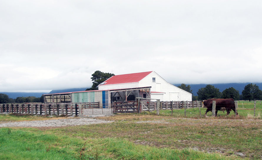 Cattle sheds and bull, Cooks Flat, Fox Glacier, Westland.