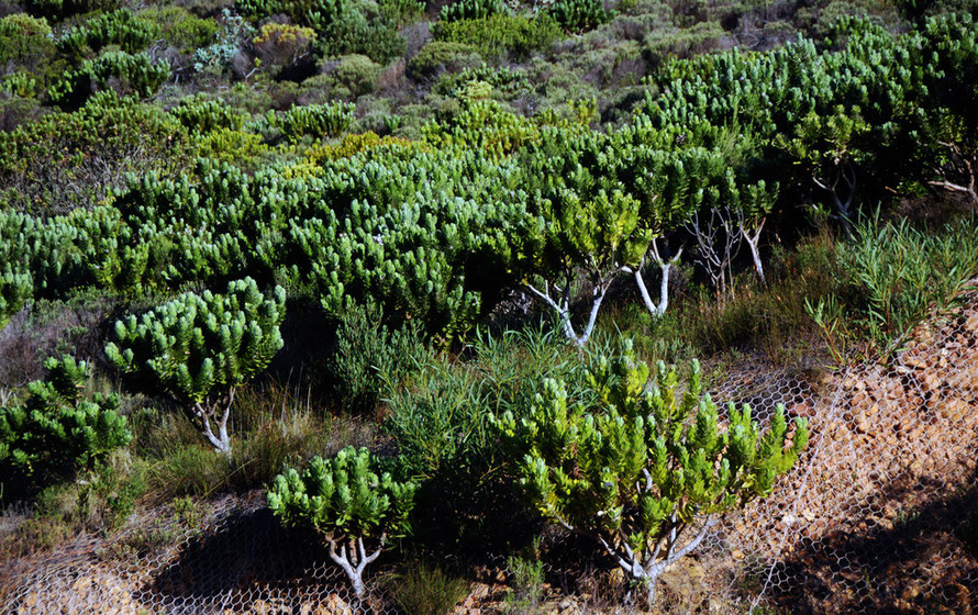 Proteoid fynbos on slopes above Chapman's Peak Drive