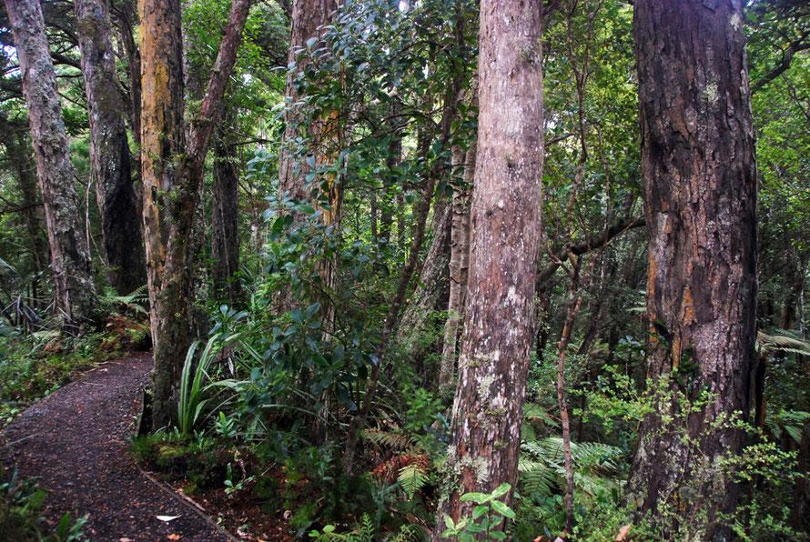 Mature forest on Ulva Island - here dominated by thin-bark totara