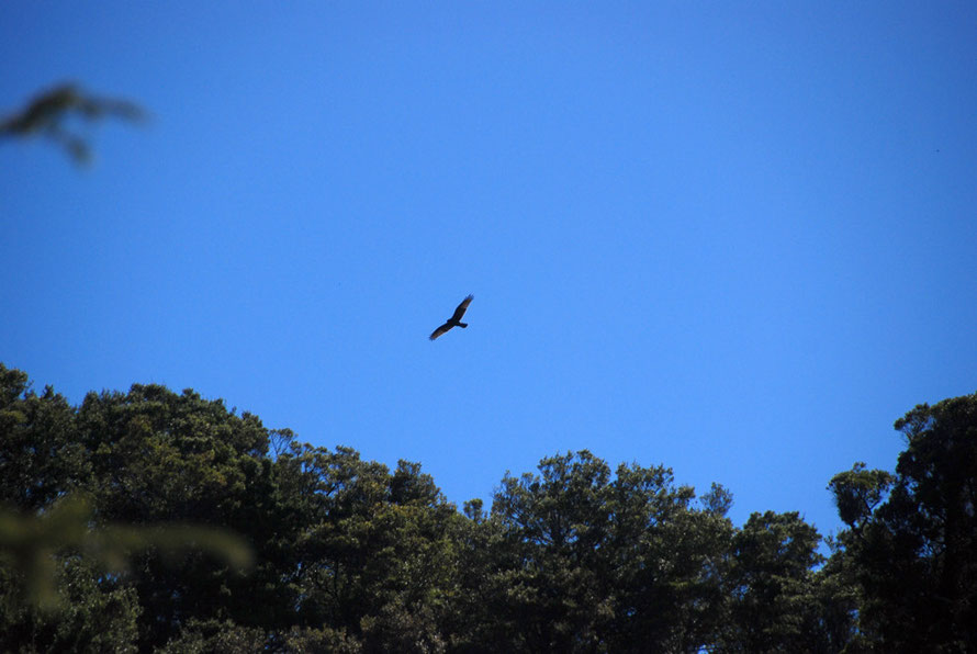 An Australasian harrier (Circus approximans) flying above the forest near Mangarakau