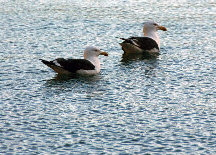 Two southern black-backed gulls/karoro - Larus dominicanus - on Wainui Bay