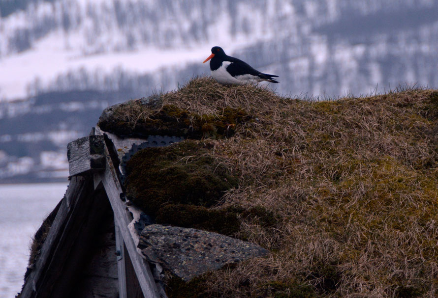 Oyster Catcher on turf roof on the Sørfjorden on the long road to Jøvik in Troms county, Northern Norway.