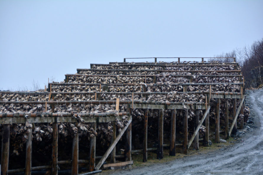 Husøy hjell drying thousands upon thousands of fish heads. A fish head can cost as little as 19p and can feed a family of four in Nigeria, Mr Rashid of Peterhead firm, Mapco says. I think the Husøy heads are exported to Nigeria. No bird nets here..