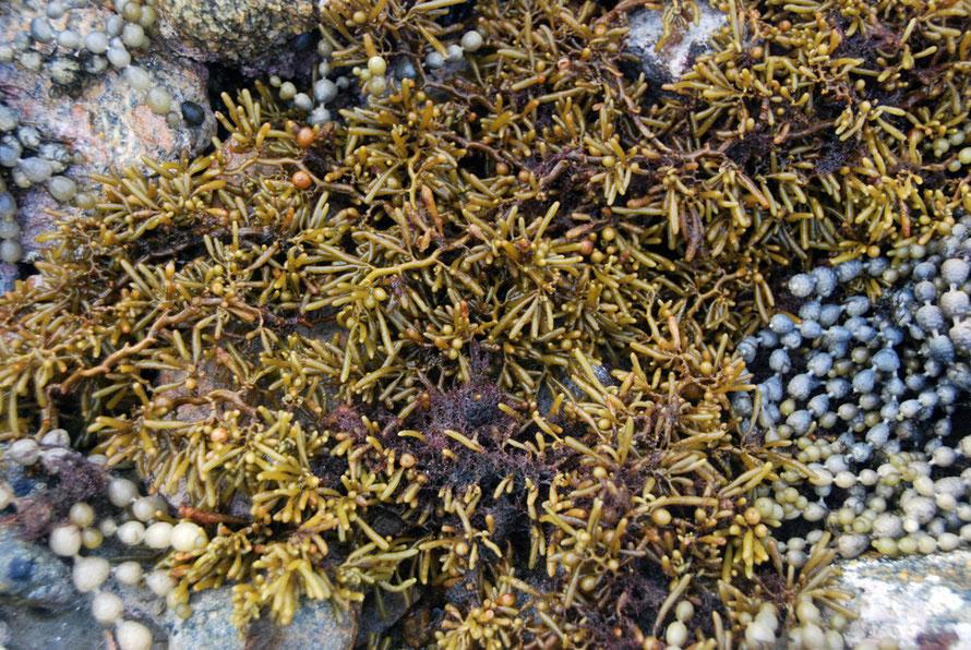 Zig-zag Weed (Cystophora torulosa) ? on Boulder Beach, Ulva Island.