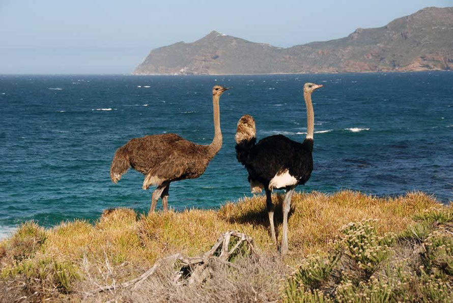 Ostrich and Cape Point behind.