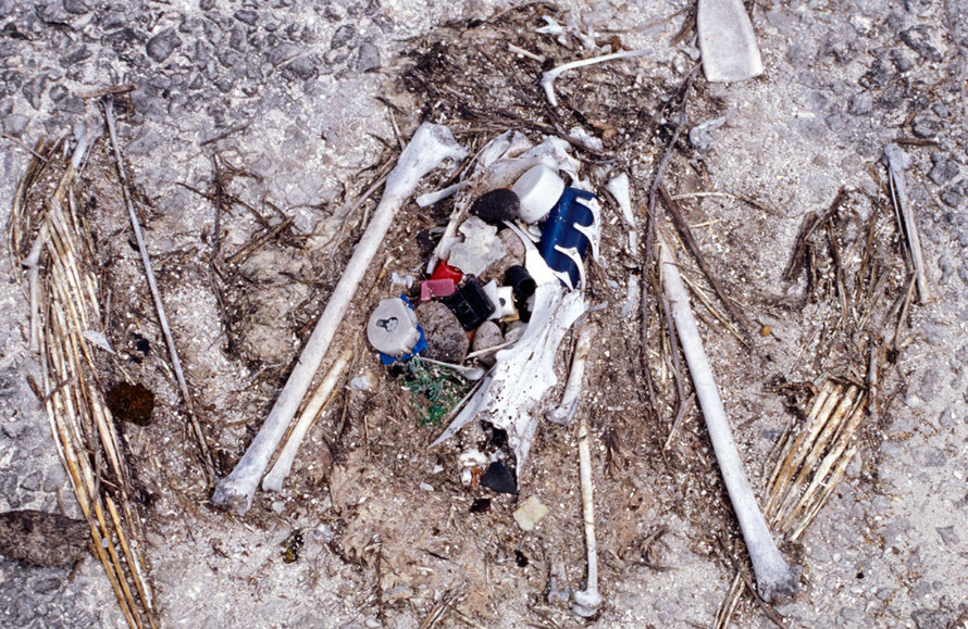 Dead Laysan Albatross chick remains with ingested plastic , Eastern Island, Midway Atoll April 5, 1999 (Courtesy of Forest & Kim Starr (USGS)