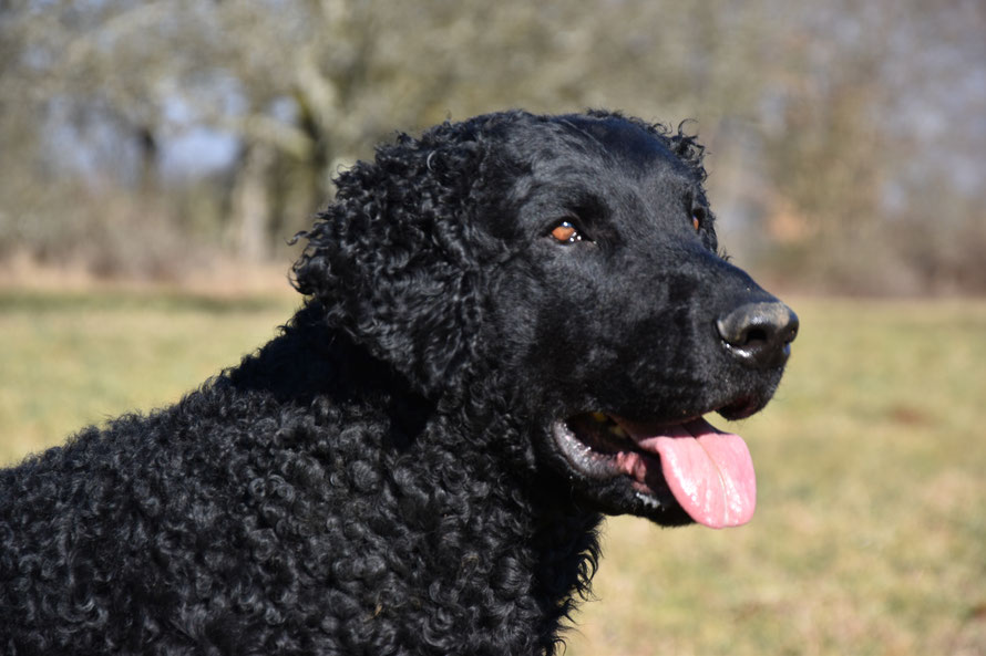Barney Beautyful Curl of Schwarzseeland. International Beauty Champion FCI