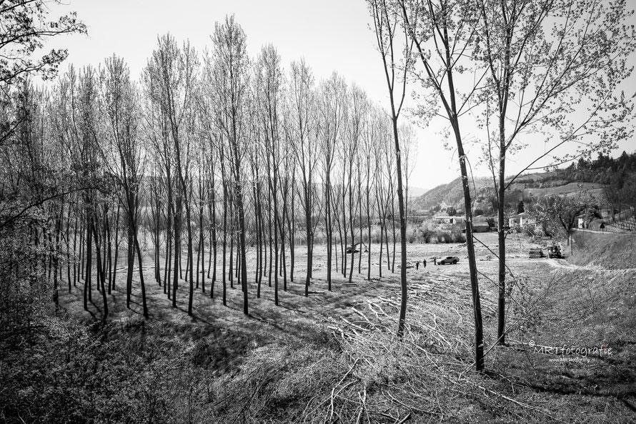 Veel populierenbossen in de Piëmonte