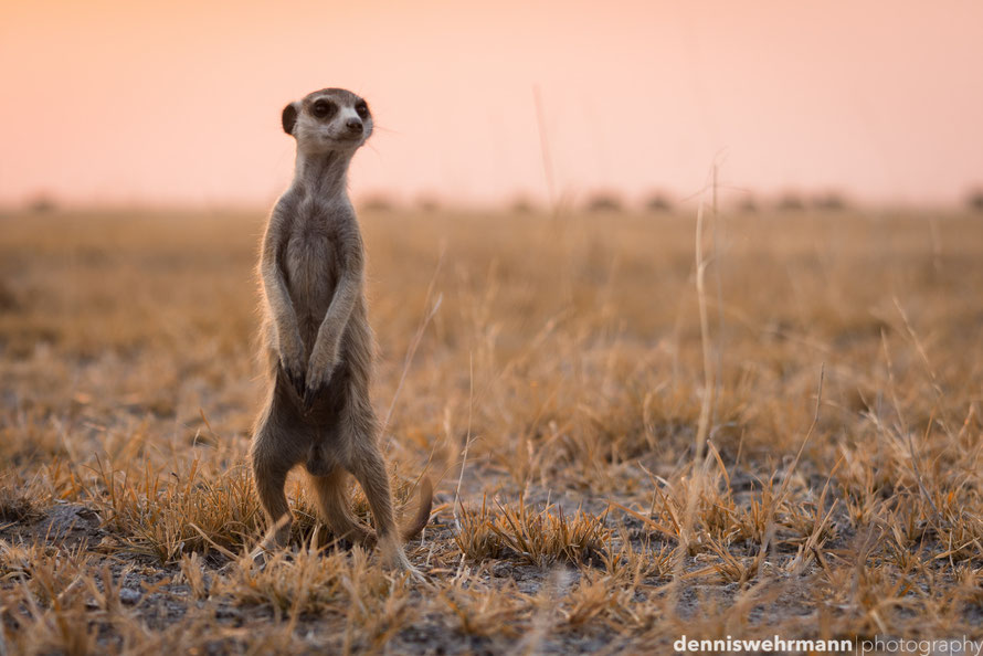 meerkat at the magadakgaki pan in botswana