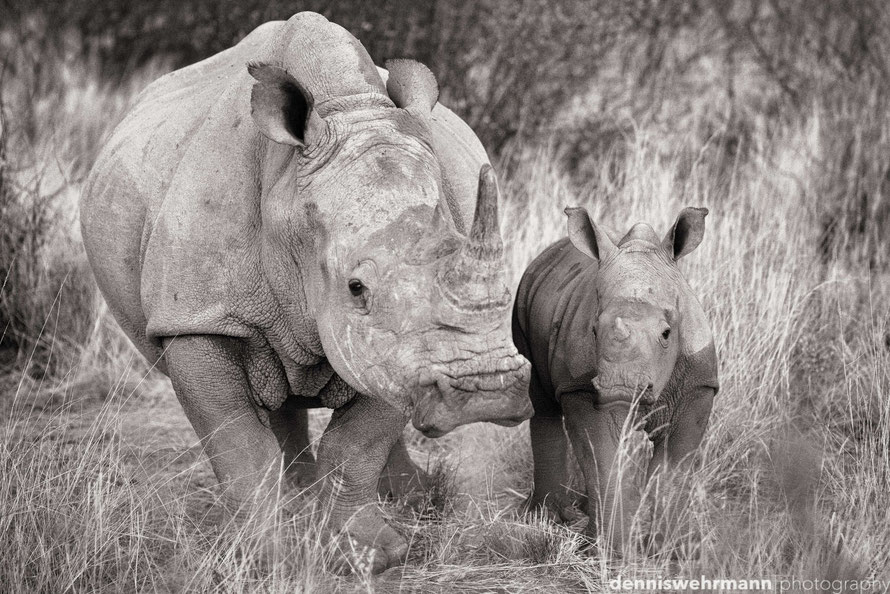 rhino with cub in the last evening light, okambara namibia ... 155mm, f2.8, 1/160 sec., iso 3200