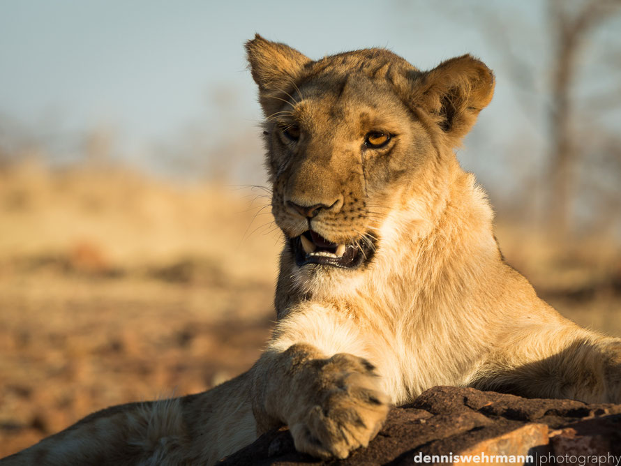 young lion during the lion encounter at victoria falls - simbabwe