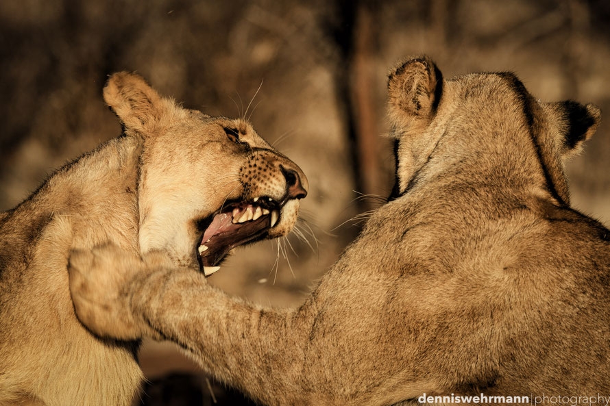 lions playing during a lion`s walk in Simbabwe near Victoria Falls