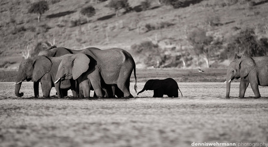 elephants crossing the sambesi to sedudu island - botswana