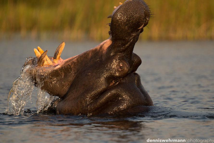furious hippo - okavango delta botswana