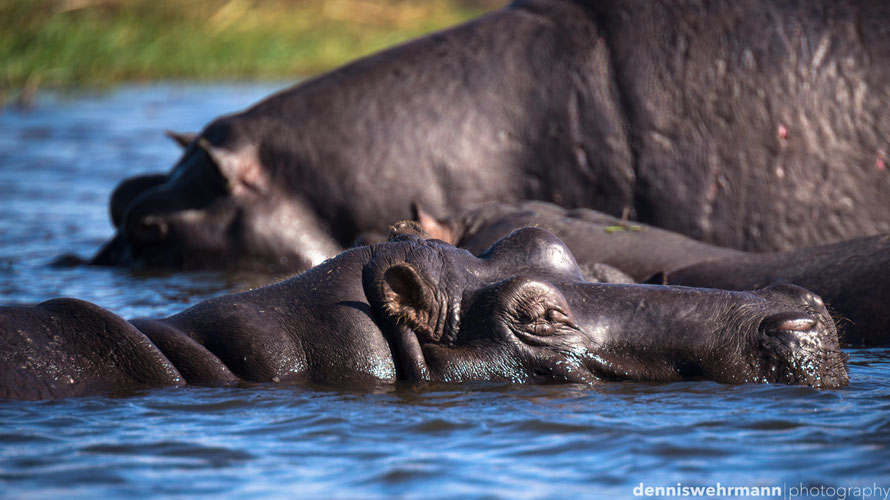 hippo pools, sedudu island kasane botswana