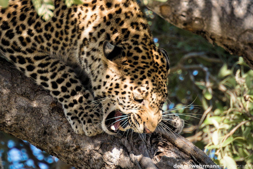 scared leopard on a tree in the chobe national park botswana, he is surrounded by baboons and trying to scare them away