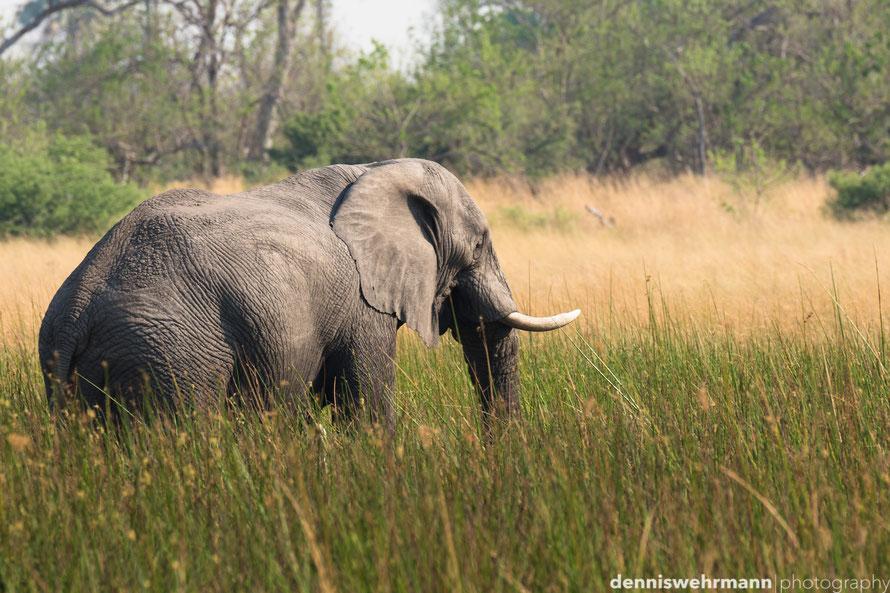 elephant okavango delta botswana